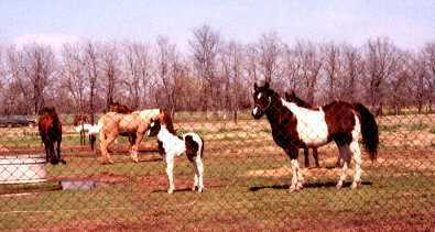 Cajun Warrior, at 10 days old, with his dam and some of our other mares